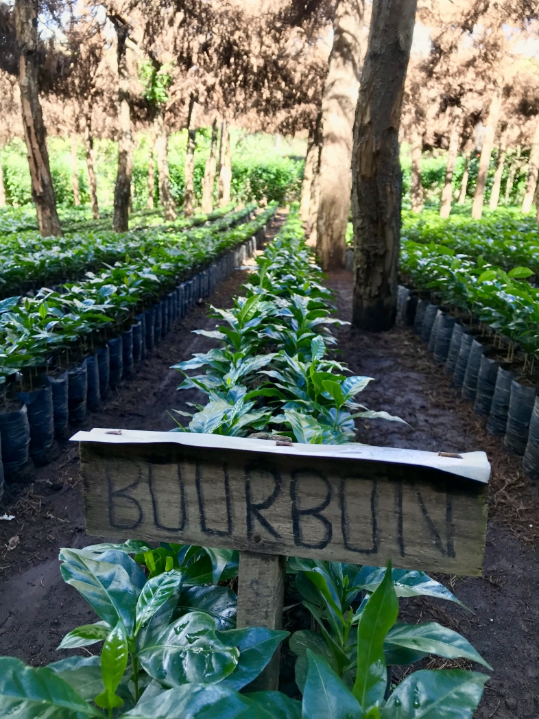 Bourbon in nursery